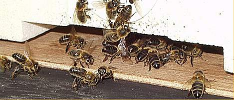 bees at the hive entrance, Photo J.Tyler
